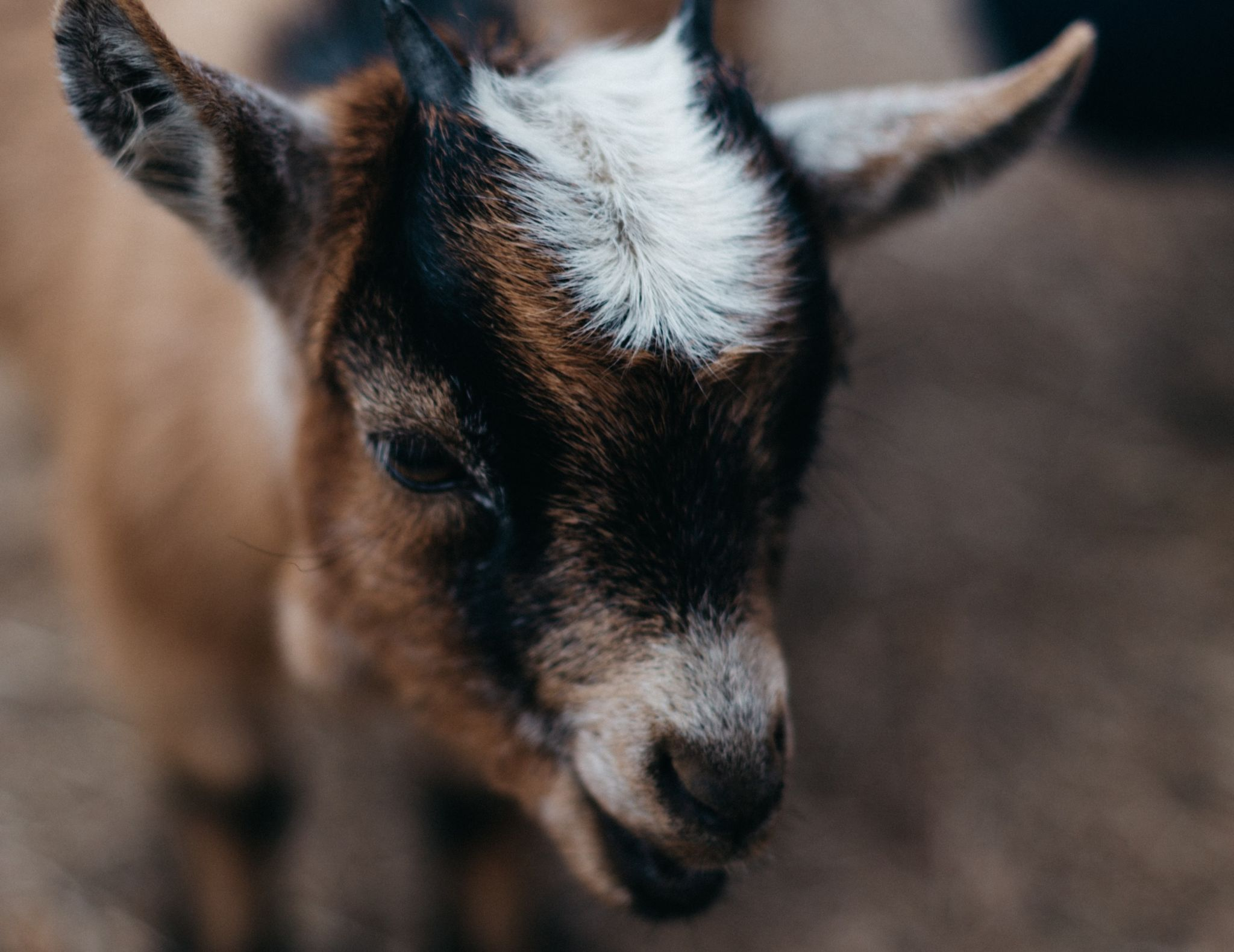 Goat Pregnancy Ultrasound Training