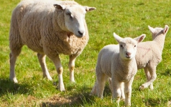 Portable Ultrasound Systems for Sheep and Goats