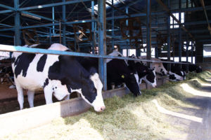dairy-cow-web-photo