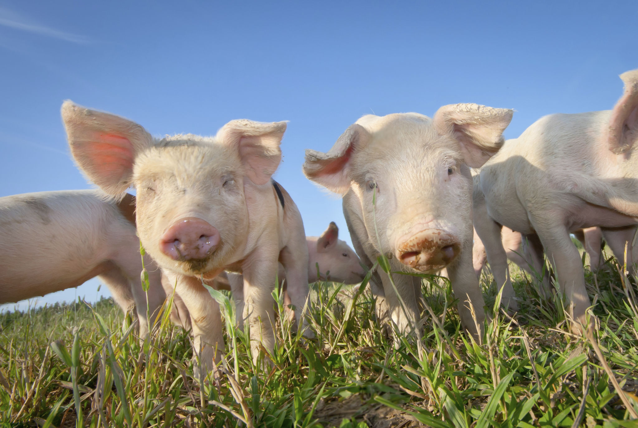 Two cute pigs on a pigfarm outdoors