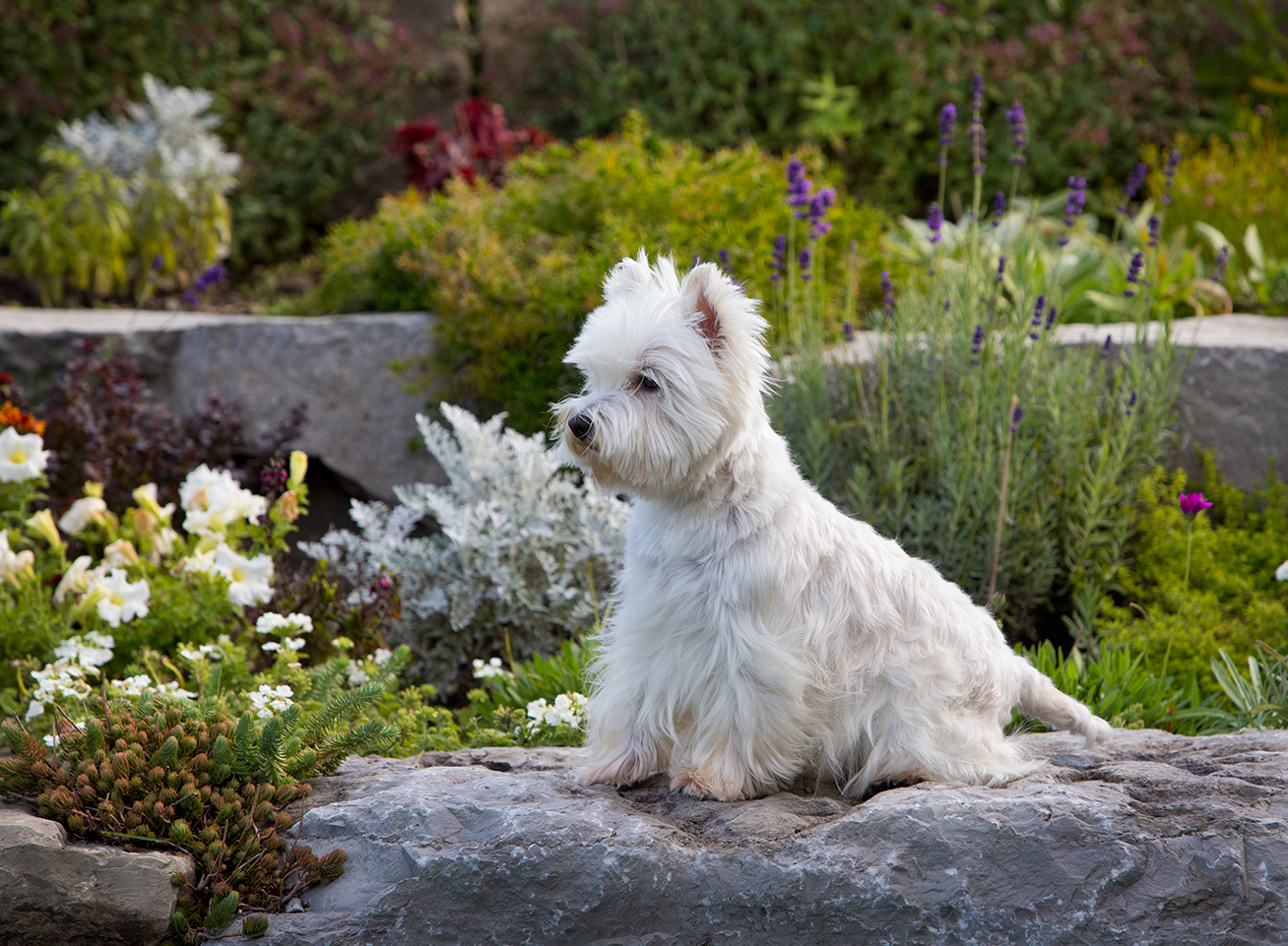 westies-lindy-barrow-skyehigh-kennels-celso-mollo-photographer