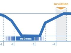 how to detect ovulation in cows