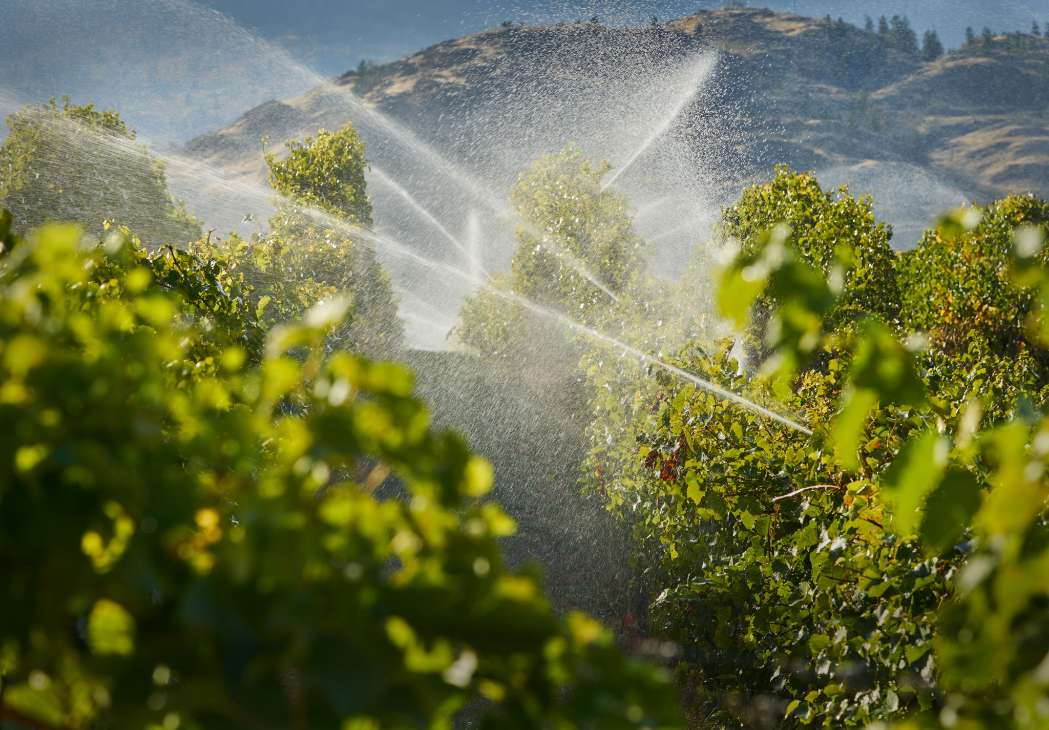 A vineyard gets irrigated at dusk in the Okanagan Valley, British Columbia, Canada.
