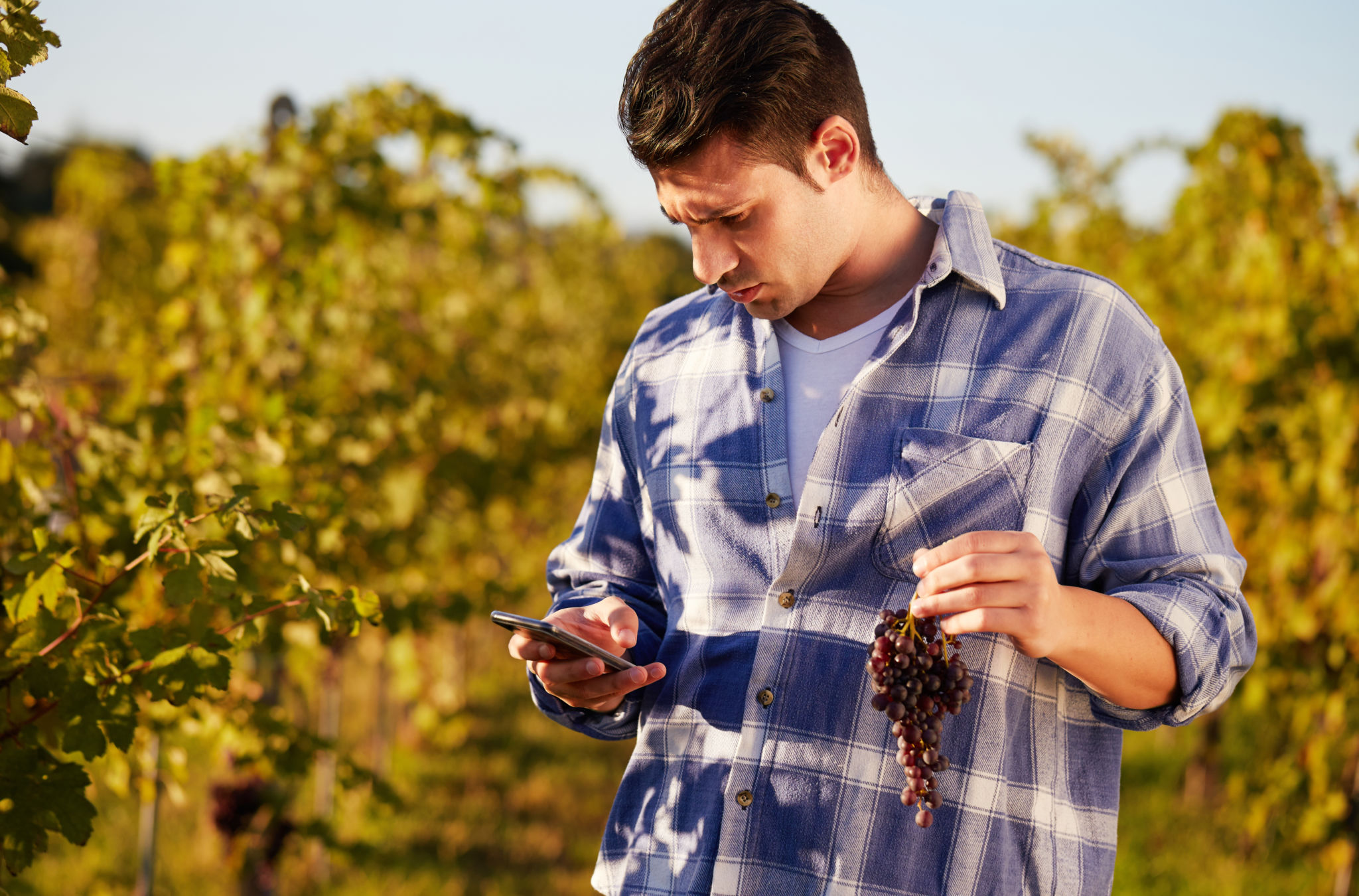 Young winemaker in vineyard picking blue grapes and talking to mobile