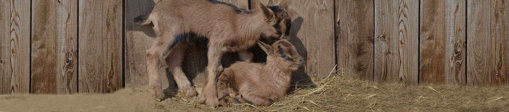 Goat Pregnancy Ultrasound